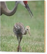 Mama And Juvenile Sandhill Crane Wood Print by Carol Groenen