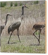Mama And Two Juvenile Sandhill Cranes Wood Print