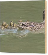Mama Mallard And Her Ducklings Out For A Morning Swim Wood Print
