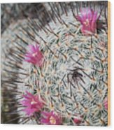 Mammillaria Cactus With Small Flowers Wood Print