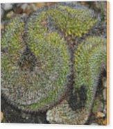 Mammillaria Red Cap Cristata Wood Print