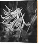 Mandarin Honeysuckle Vine 1 Black And White Wood Print
