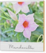 Mandevilla Pink Beauty Wood Print