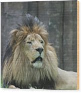 Mane Standing Up Around The Head Of A Lion Wood Print