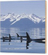 Many Orca Whales Wood Print by John Hyde - Printscapes