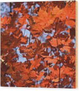 Maple Leaves Aglow Wood Print