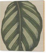 Maranta Fasciata Wood Print