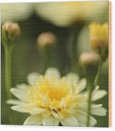 Marguerite Daisy Named Madeira Crested Primrose Wood Print
