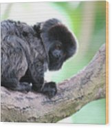 Marmoset Sitting Perched In A Tree Wood Print
