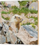 Marmot On Mount Massive Colorado Wood Print