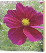 Maroon And Yellow Cosmos Wood Print