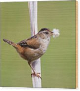 Marsh Wren Nest Building Wood Print