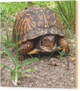 Maryland Box Turtle Wood Print