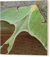 Maryland Luna Moth Wood Print