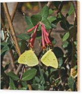 Matched Pair Of Sulfur Butterflies Wood Print