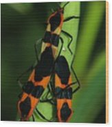Mating Milkweed Bugs Wood Print by April Wietrecki Green
