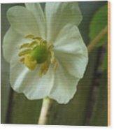 May Apple Blossom Wood Print