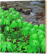 Mayapples And Middle Fork Of Williams River Wood Print