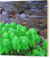 Mayapples And Middle Fork  Wood Print
