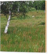 Meadow With Birch Trees Wood Print