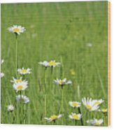 Meadow With White Wild Flowers Spring Scene Wood Print