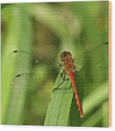 Meadowhawk Dragonfly Wood Print