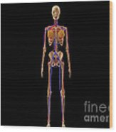 Medical Illustration Of Female Skeleton Wood Print