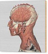 Medical Illustration Showing Human Head Wood Print