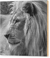 Meditative Lion In Black And White Wood Print