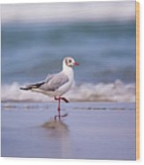 Mediterranean Gull Ichthyaetus Melanocephalus Wood Print