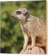 Meerkat 1 Wood Print