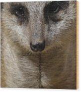 Meerkat Looking At You Wood Print