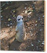 Meerkat Responding Wood Print
