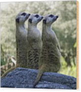 Meerkats On The Lookout Wood Print