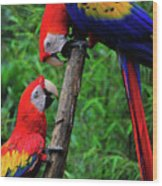 Meeting Of The Macaws  Wood Print