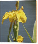 Mello Yellow - Floral Yellow Iris 3 Wood Print