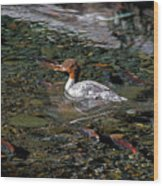 Merganser And Spawning Salmon - Odell Lake Oregon Wood Print
