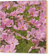 Mexican Aster Flowers 1 Wood Print
