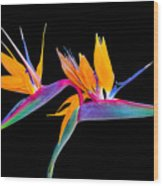 Mexican Bird Of Paradise Wood Print