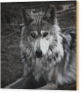 Mexican Gray Wolf Wood Print