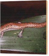 Mexican Palm Salamander Wood Print