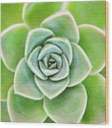 Mexican Snowball Succulent  Wood Print