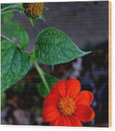 Mexican Sunflower 2 Wood Print