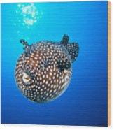 Mexico Guineafowl Puffer Wood Print