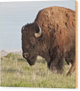 Mighty American Bison Wood Print