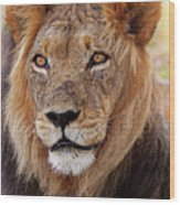 Mighty Lion In South Africa Wood Print