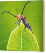 Milkweed Beetle Wood Print