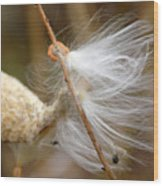Milkweed Feathers Wood Print