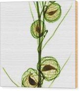 Milkweed, Gomphocarpus Physocarpus Wood Print