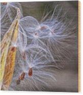 Milkweed Pod And Seeds  Wood Print